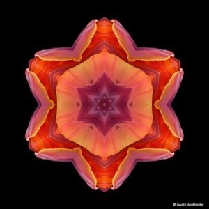 Orange Tulip Flower Mandala by David Bookbinder